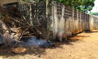 Pigs wandering the street of Conakry