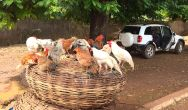 Chickens - ready for the plucking