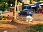 Goats in the street